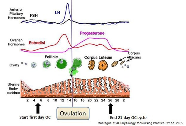 Figure 1: Hormone levels in the average menstrual cycle.